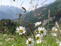 Camomille dans les Alpes Image stock