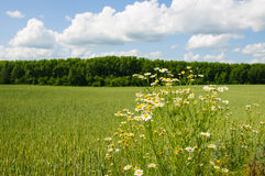 Camomille de champ dans le pré contre la forêt et le ciel nuageux Photographie stock