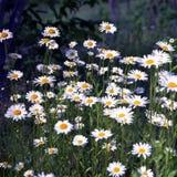 Camomille de floraison de fleur avec des feuilles, nature naturelle vivante images stock