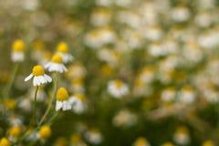 Camomille fält Fotografering för Bildbyråer