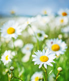 Camomille field Royalty Free Stock Photography