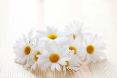 Camomille flowers Stock Photo