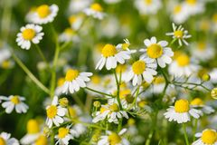 Camomille flowers grow at meadow. Camomille flowers grow at wild summer meadow Royalty Free Stock Images