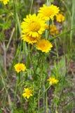 Camomille jaune Photo libre de droits