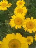 Camomille jaune Images libres de droits