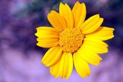 Camomille jaune Photographie stock