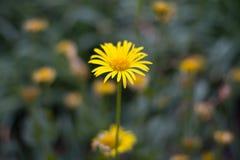 Camomille jaune au fond de tache floue Photographie stock libre de droits