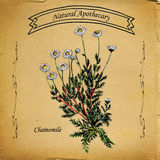 Camomille naturelle d'apothicaire illustration stock