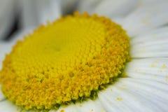 Camomille solaire image libre de droits