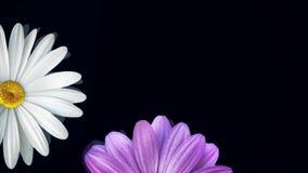 Camomille sur le fond noir Animation de marguerite blanche de flottement de résumé et de fleur pourpre sur le fond noir d'isoleme illustration de vecteur