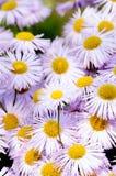 Camomille violet. Photo libre de droits