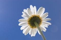 Camomille, vue inf?rieure contre le ciel bleu Macro photo en gros plan image libre de droits