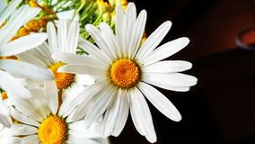 Camomilles et petit bouquet de tansy, fleurs photo libre de droits