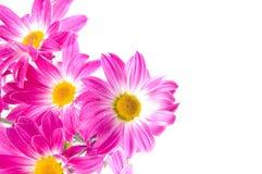 Camomilles. Fleurs de source Photo stock