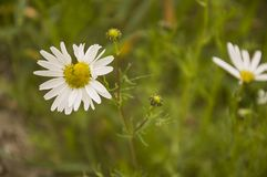 Camomilles sauvages de fleurs blanches dans l'herbe verte Photos stock
