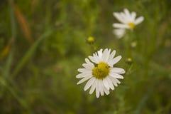 Camomilles sauvages de fleurs blanches dans l'herbe verte Photo stock