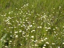 Camomilles sauvages Fleurs d'été photos libres de droits