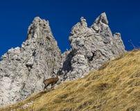 Camoscio in alpi Fotografia Stock Libera da Diritti