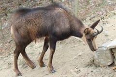 Camoscio che lecca una pietra salata nello zoo di Pirenei Fotografia Stock