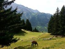 Camoscio che mangia erba davanti alle alpi del francese del moutain di Mont Blanc Immagine Stock Libera da Diritti