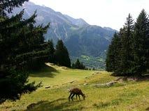 Camoscio che mangia erba davanti alle alpi del francese del moutain di Mont Blanc Fotografie Stock