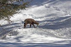 Camoscio del cucciolo, parco nazionale, Aosta Immagini Stock