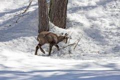 Camoscio del cucciolo, parco nazionale, Aosta Immagine Stock