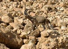 Camoscio della montagna fra le rocce Fotografia Stock Libera da Diritti