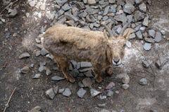 Camoscio /Goat Fotografie Stock