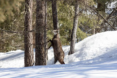 Camoscio nel parco nazionale, Aosta Fotografie Stock
