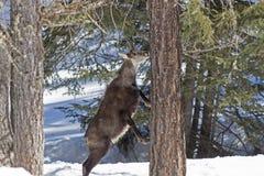 Camoscio nel parco nazionale, Aosta Fotografia Stock Libera da Diritti