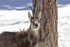 Camoscio nel parco nazionale, Aosta Immagine Stock Libera da Diritti