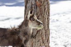 Camoscio nel parco nazionale, Aosta Fotografia Stock