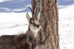 Camoscio nel parco nazionale, Aosta Fotografie Stock Libere da Diritti