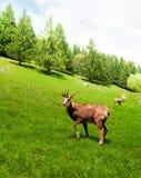Camoscio nel prato della montagna Fotografia Stock