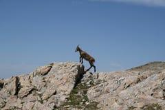 Camoscio nelle alpi, Francia Fotografia Stock