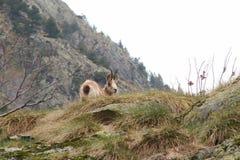 Camoscio in Pyrénées Fotografie Stock