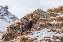 Camoscio & x28; Rupicapra& x29 della rupicapra; nelle alpi Fotografie Stock