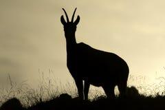 Camoscio selvaggio che sta sull'alba in montagne di Giura, Francia Fotografia Stock