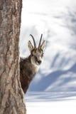 Camoscio superbo nel parco nazionale, Aosta Fotografie Stock