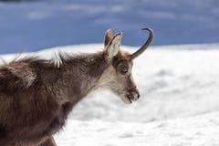 Camoscio superbo nel parco nazionale, Aosta Fotografie Stock Libere da Diritti