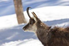Camoscio superbo nel parco nazionale, Aosta Immagini Stock Libere da Diritti