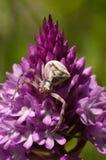 Camouflag da aranha do caranguejo em uma orquídea piramidal Imagens de Stock Royalty Free