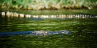 Camouflage. The crocodile floats in water. In waters of Nile huge and dangerous crocodiles swim Stock Images