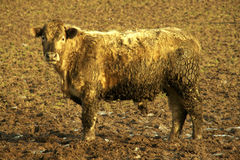 Camouflage. A mud encrusted bullock stands almost camouflaged in a muddy field in winter stock images