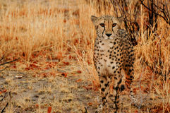 Camouflage Cheetah Royalty Free Stock Images