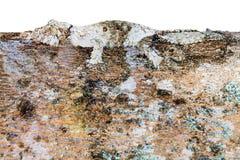Camouflage d'arbre de gecko sur le blanc images libres de droits