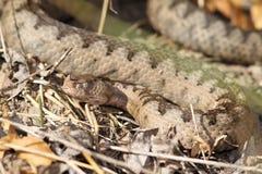 Camouflage de grands ammodytes femelles Images stock