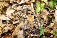 Camouflage de vipère à cornes de nez dans l'habitat naturel Photographie stock