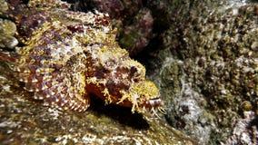 Camouflage en pierre de poissons sur le récif Photos libres de droits
